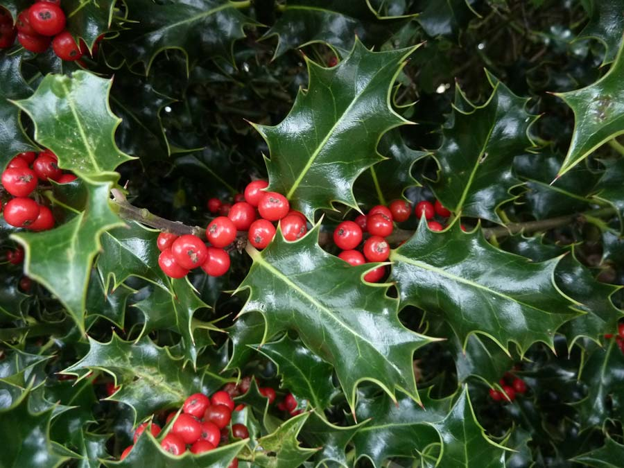 Holly or Ilex aquifolium